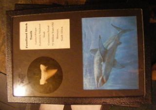 FOSSILIZED SHARK TOOTH W/ DISPLAY CASE DINOSAUR ERA, MORROCO 1 DAY