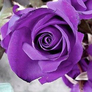 20 Seeds Chinese Purple Rose Seed For Lover Purple Rose Seed