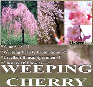 BULK JAPANESE Weeping Cherry Tree Seeds Prunus subhirtella pendula