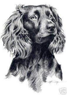 BOYKIN SPANIEL Dog Drawing ART 5 x 7 Print Signed DJR