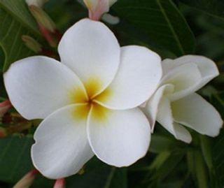Fresh Seeds Frangipani Plumeria Dwarf Deciduos White