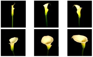 The Six Stages of the Callas Life Cycle