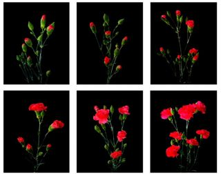 The Six Stages of the Mini Carnations Life Cycle