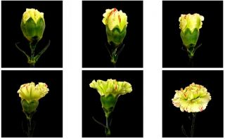 The Six Stages of the Carnations Life Cycle