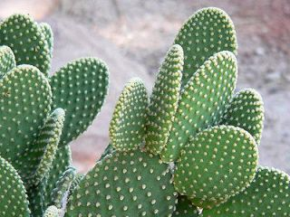 white bunny ears prickly pear cactus 4 unrooted pads time left $ 5 99