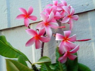 Hawaiian Grown Plumeria Cutting KAPALUA multi tipped (14)