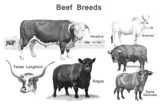 Vintage Beef Breeds Poster, Cattle Butcher Classification, Angus