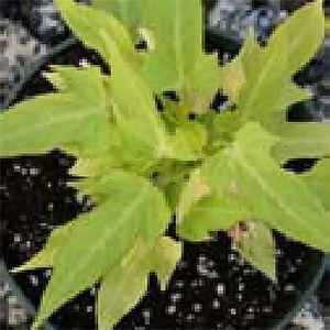 Margie Sweet Potato Vine Live Garden Plants from Cuttings