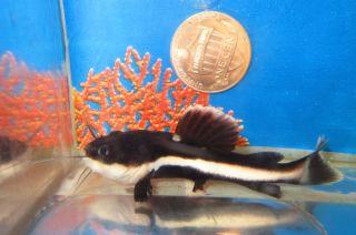 red tail catfish tropical fish for freshwater aquarium