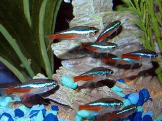 40 Live Neon Tetra Fish 1 1 5 Good Discus Tank Mate Planted Aquarium