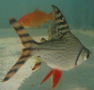Redfin Prochilodus Live Fresh Water Tropical Fish for Aquarium