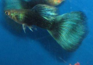 Live fish black kuhli loach 3 for freshwater plant aquarium for Black and white striped fish freshwater