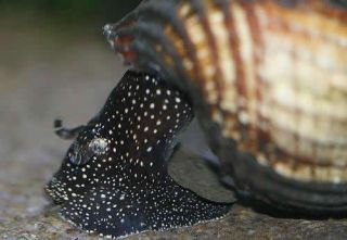 Rabbit Snails for You Fish Tank or Aquarium Tylomenia Snail