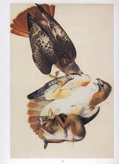 John James Audubon bird print RED TAILED HAWK