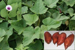 Edible Sweet Potato 25 Vines Slips Plants Spring SHIP