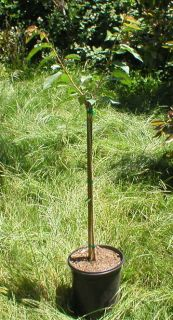 Grafted Bing Cherry Tree 5 Gallon W/ Pot & Soil