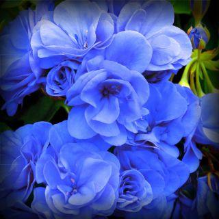Geranium Rose Blue Pelargonium Flower Seeds New