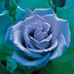 Hybrid Tea Rose Blue Moon Ice Blue Flowers Perennial Plant