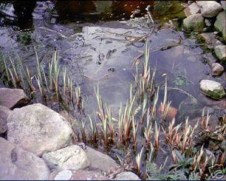 Acorus Calamus Variegated Sweetflag 1 Plant Water Pond