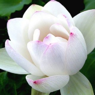 Pcs Chinese Lotus Seeds Nelumbo Nucifera White Water Lily Pond Plant