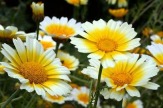 1000 Garland Crown Daisy Chrysanthemum Flower Seeds