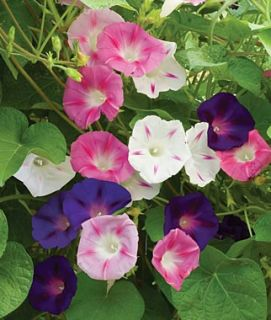 morning glory Ipomoea indica Cypress vine moonflower 60 Mixed seeds