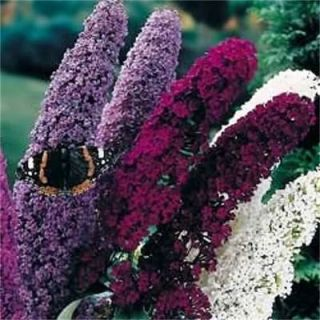 100 Mixed Colors Butterfly Bush Buddleia Davidii Flower Seeds Gift