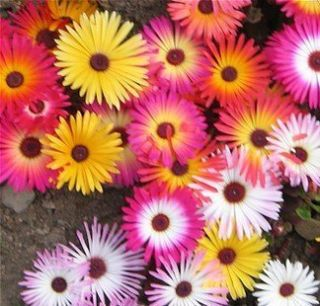 Ice Plant Flower Seeds 25 Fresh Seeds Mix Colors