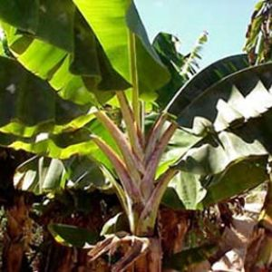 DWARF JAMAICAN RED Banana Tree ~ BIG 1 gallon LIVE Plants ~ COLD HARDY