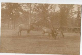 RPPC St Louis MO Elk in Forest Park 1910 Postcard