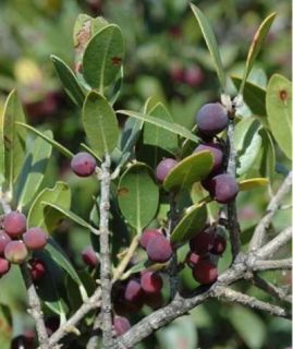 Green Olive Tree Phillyrea Phillyrea Latifolia 100 Fresh Seeds