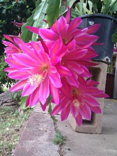 Epiphyllum Cutting This Epi Will Produce Extra Large Gorgeous Flowers