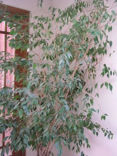 Healthy Live Ficus Tree About 7 Feet Tall Indoor Plant