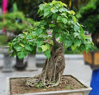 Indian Sacred fig Tree seeds Ficus religiosa Bonsai Peepal Buddha Tree