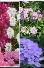 Iberis Gibraltarica Candytuft Easy Fast Growing Plant