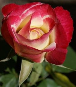 hybrid tea rose double delight