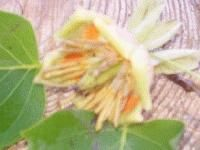 Tulip Tree 2 Foot Fast Growing Flowering Tree for Honey Bees Garden