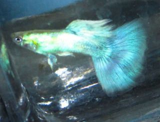 Japanese Blue Male Guppies Live Freshwater Aquarium Fish