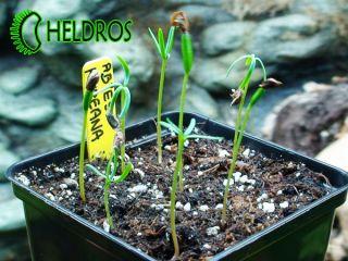Korean Fir Abies Koreana for Every Garden Fresh Seeds