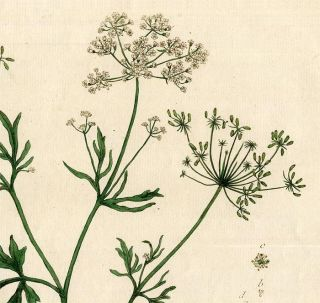 1774 Antique Botanical Print Genevieve Regnaults Anise