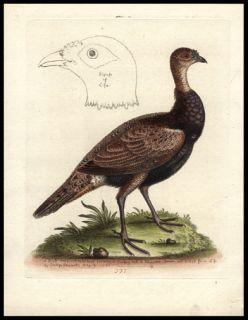 1764 George Edwards First Edition Hand Color Antique Bird Print Turkey