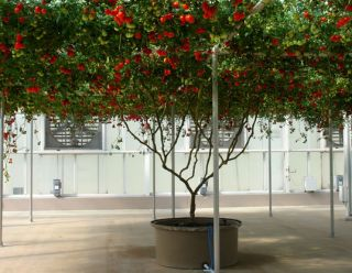 Tomato Giant Italian Tree Vines Can Grow To 25 Feet Or More 15