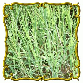 oz Rice Cut Grass Bulk Wild Grass Seeds