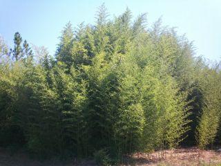 Yellow Groove Bamboo Plants 25ft Instant Hedge Windscreen Zen