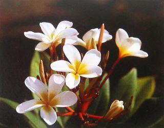 Hawaiian White Plumeria Plant Cutting Grow Hawaii