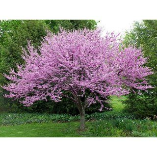 PINK REDBUD FLOWERING TREE SEEDS   10 FRESH SEEDS   RED