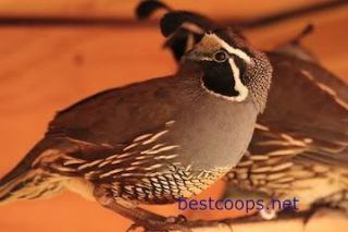12 Fertile California Valley Quail Hatching Eggs Pre Sale 2013