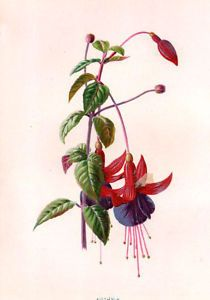 Flower Fuchsia 1879 Antique Original Print Hulme
