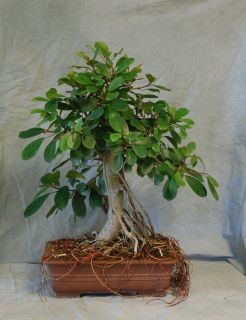 Crater Fig Bonsai Tree Lots of Aerial Roots Banyan Indoor Plant