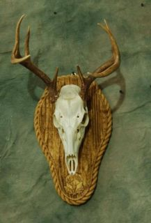 Taxidermy Instructional DVD for A European Deer Skull